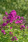 magenta phlox flowers
