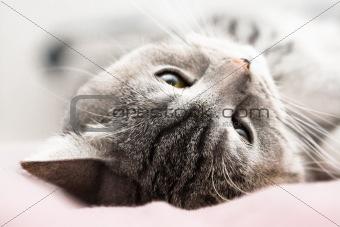 Gray cat dream