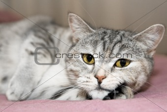 Gray cat think about mouse