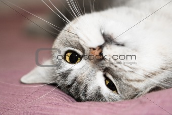 Gray cat rest