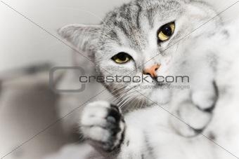 Gray cat watch