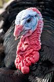 Male Turkey head