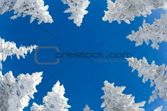 Tops of fir trees