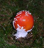 One small fly agaric on the bottom of the wood