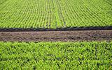 Rows of seedlings in a field