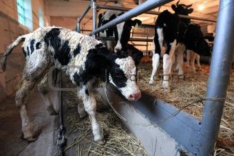 calf on the farm