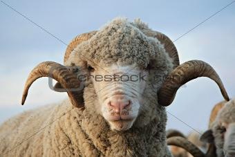 Cloe-up sheep