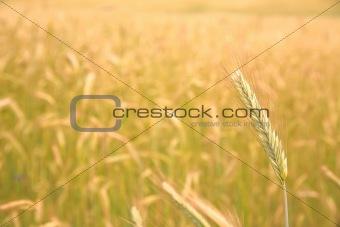 single ear on the golden field background