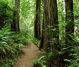 Hiking path through the redwood forest 773A