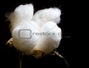portrait of cotton