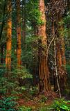 Giant Redwood Trees Tower Over Hikers Muir Woods National Monume
