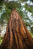 Large Redwood Tree Looking Straight Up Muir Woods National Monum