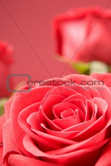 Red roses close-up on the red background