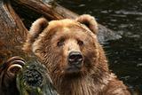 Bear looking at you