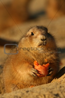 Prairie dog looking at you