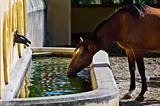 Horse drinking