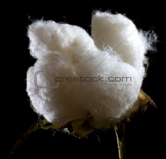 cotton portrait