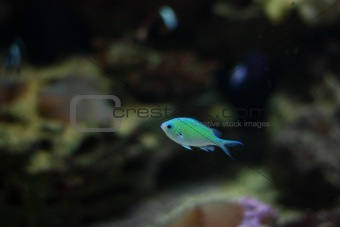 Small blue fish