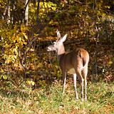 whitetail in the fall