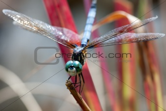 Green Eyed Blue Body Dragonfly