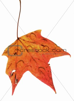 autumn leaf with rain