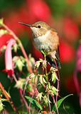 Male Rufus hummingbird enjoying the early morning sun.