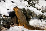 Fox Squirrel In Winter
