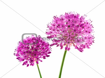 Allium Purple Sensation Flower 3
