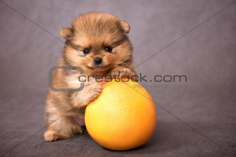 Puppy of the spitz-dog with grapefruit