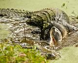 Alligators Feeding