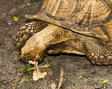 Tortoise eating a flower