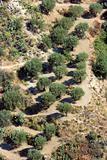 Olive garden in Aspromonte