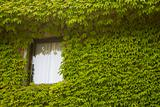 Window in Ivy