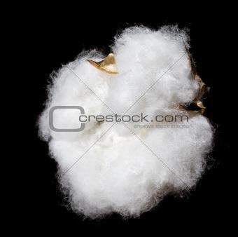 cotton portrait