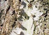 birch rind