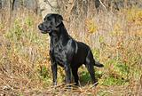 labrador retriever in the field