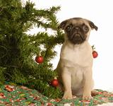 pug puppy under christmas tree