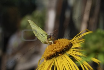 Green butterfly feeding on a yellow flower