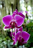 Orchides