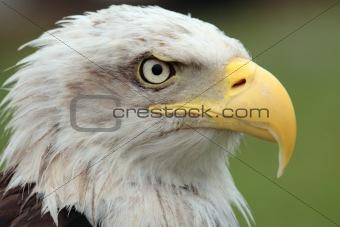 American wild eagle