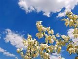 flower yucca