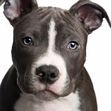 American Staffordshire terrier puppy (3 months)