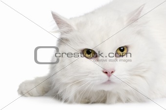 close-up on a white angora cat (5 years)