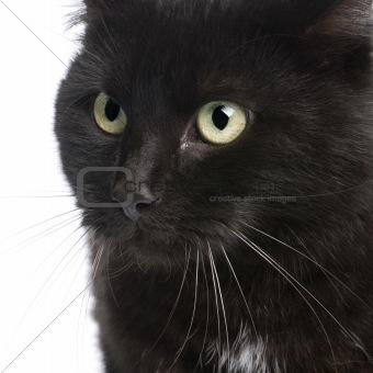 black European Shorthair cat (5 years)