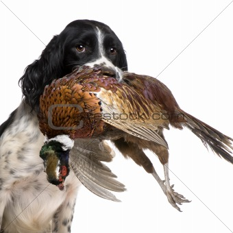 English Springer Spaniel hunting (1 year)