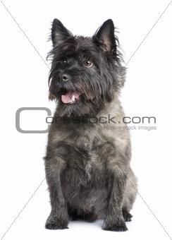 Cairn Terrier (8 years)