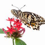 Papilio demoleus butterfly