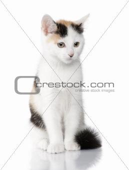 kitten European Shorthair cat (2 months)
