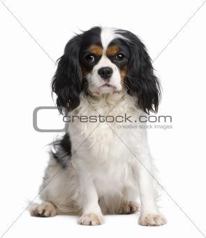 Cavalier King Charles (2 years)