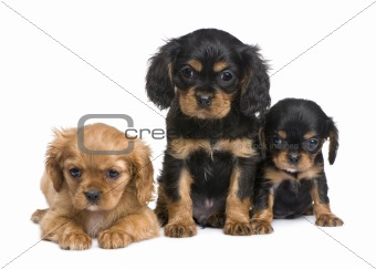 Cavalier King Charles puppy (7 weeks)